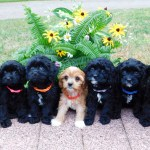 Pleasant Meadows Home Cavapoo Puppies
