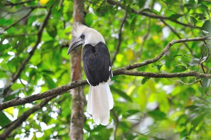 Image result for white hornbill borneo