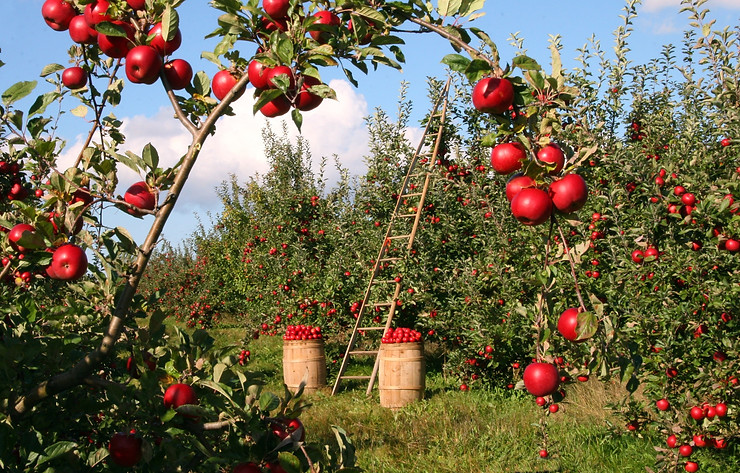 Delicious red apples ready to pick from an apple orchard