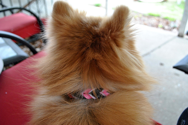 Image result for Pomeranians in Collars