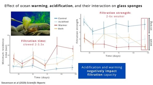 Summary image of results, showing that acidification and warming negatively impact filtration capacity (filtration time slowed 2 - 3.5 times, and filtration strength was 2 - 6 times weaker).