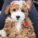 1 Goldendoodle Breeder In Usa Murphy S Doodles