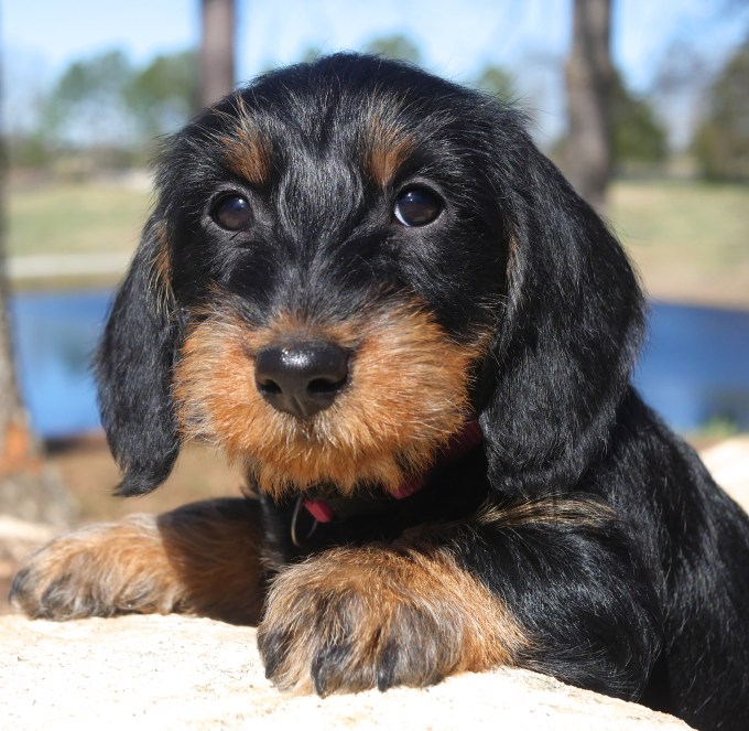 Wire Haired Dachshund Rescue Florida | Hairsstyles.co