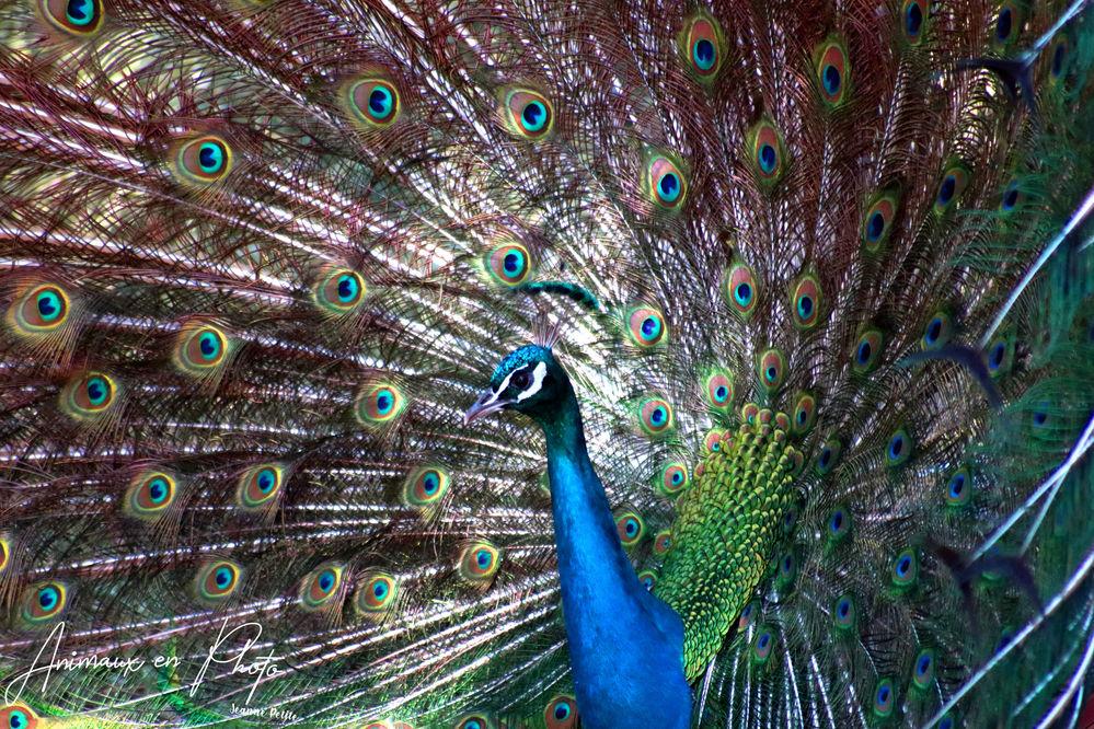 le paon bleu un animal a la symbolique