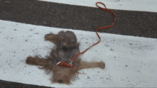 squashed dog on ground