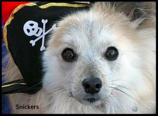 dog in a pirate halloween costume dogs like halloween snickers