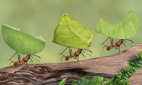 Image result for leafcutter ants