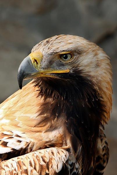 1-eastern-imperial-eagle.jpg