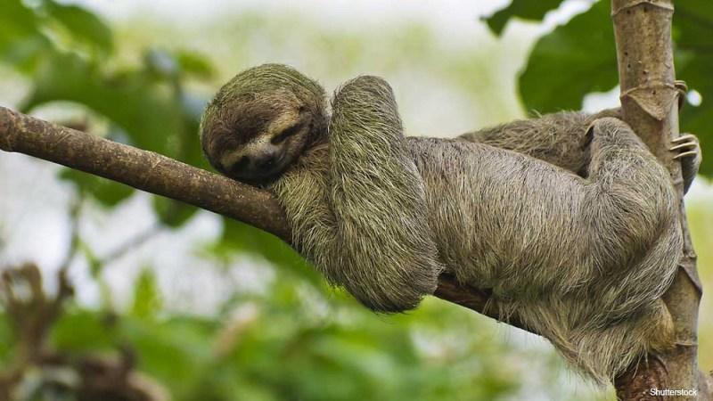 Perezoso tomando una siesta