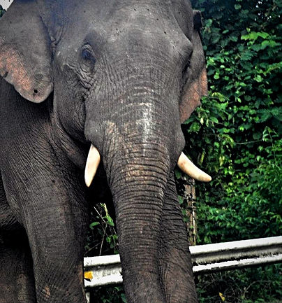 Searching for Wild Elephants in Thailand