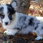 Blue Merle Corgi Fluffy Corgi The Perfect Corgi United States Corgi For Sale