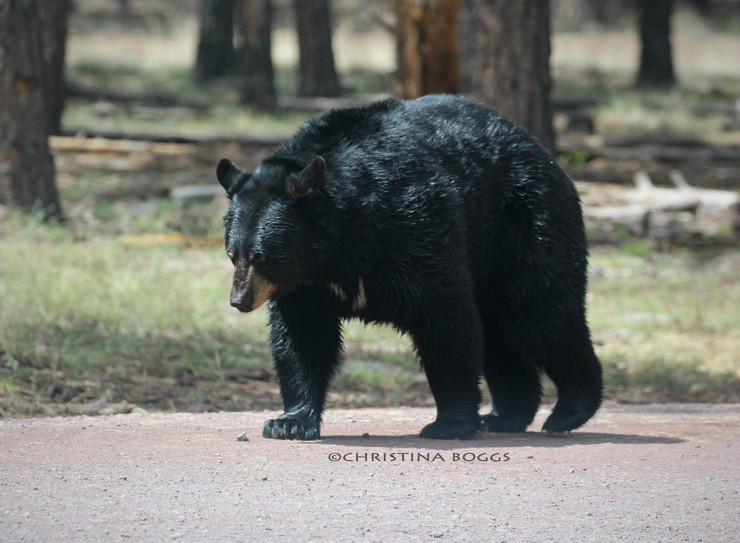 Arizona's Over the Counter Bears - The Quiet Survivalist