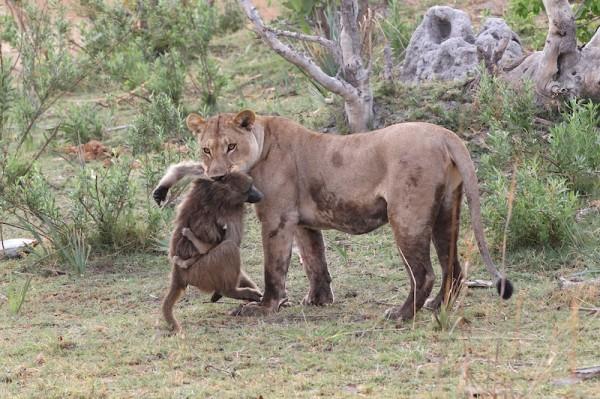 Con khỉ đầu chó mẹ chờ chết dưới hàm răng sư tử cái.