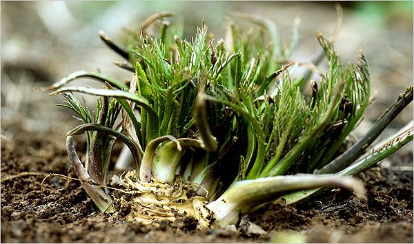 Can Eat We Leaves Moringa
