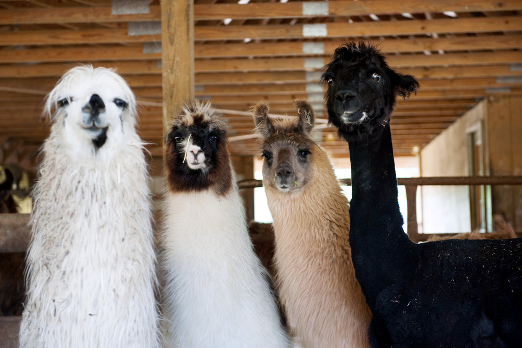 The Llama Is In The New York Times