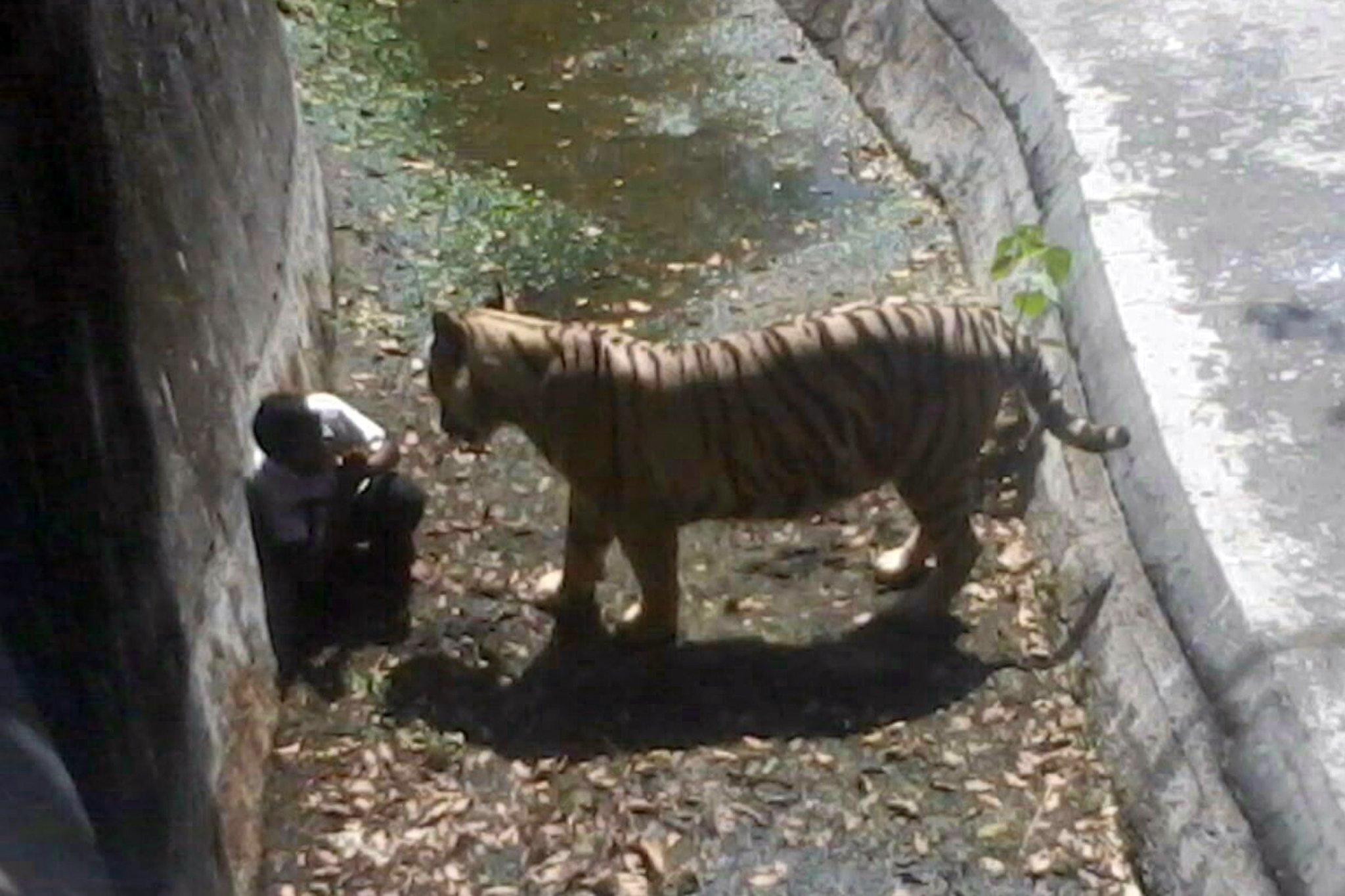 White Tiger Kills Visitor At Zoo In India The New York Times