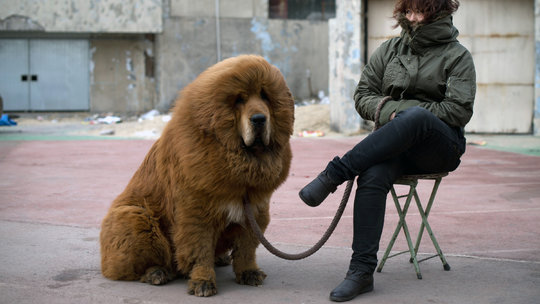 Tibetan mastiffs were once trendy must-have dogs for wealthy Chinese, selling for more than $200,000. But waning interest has left many breeders with unwanted dogs.  This mastiff is large with brown fur and mane-like fur at the neck and head like a lion.