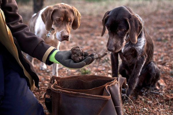 Dogs like these, with their sensitive sniffers, are trained to help workers zero in on truffles in Eladio Salvador Redón's fields.