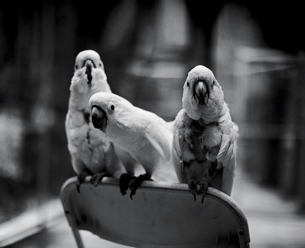 Parrot Poems | Feathered Angels