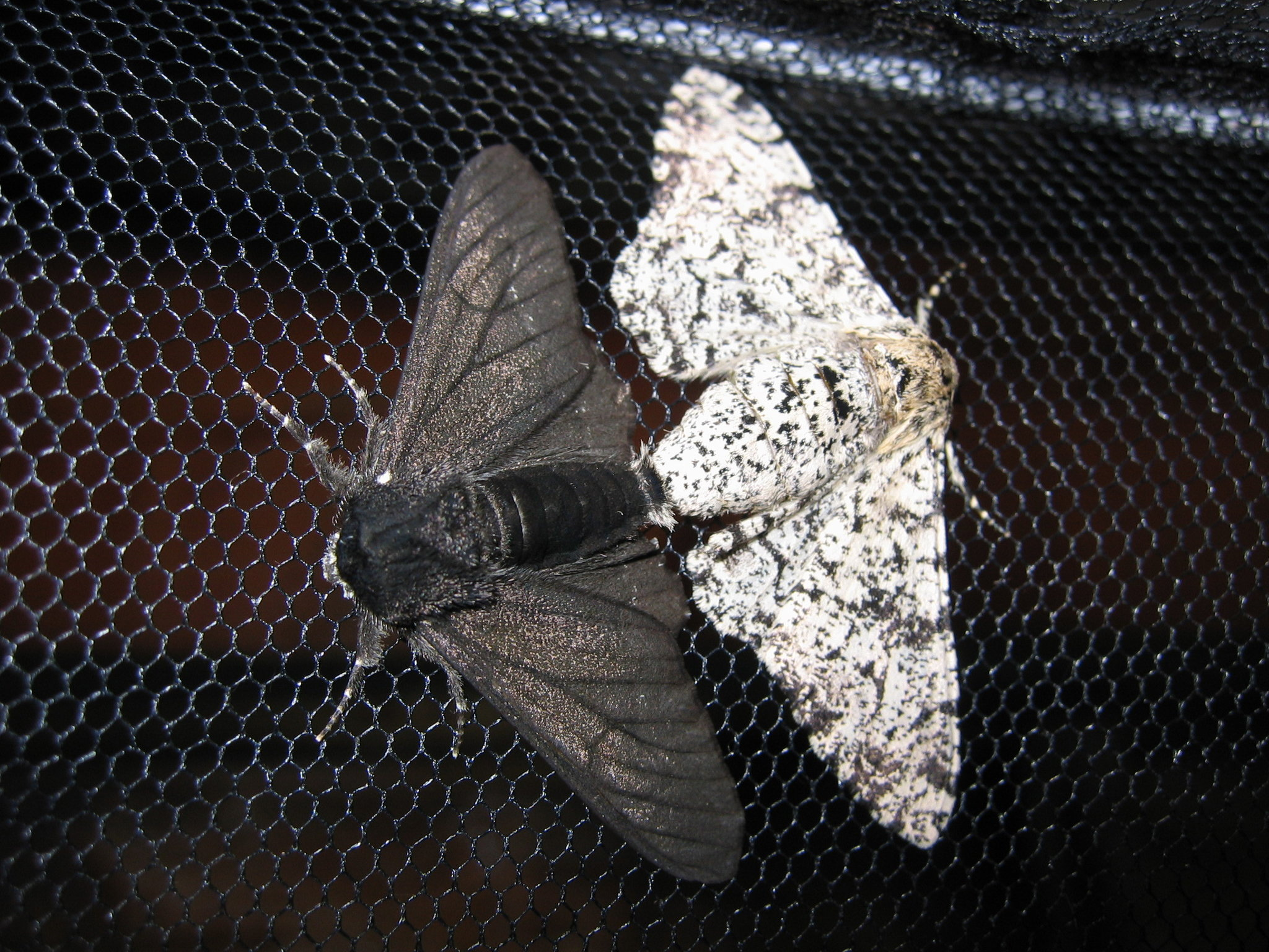 Stu S Of Moth And Butterfly Genes Color In A Scientific