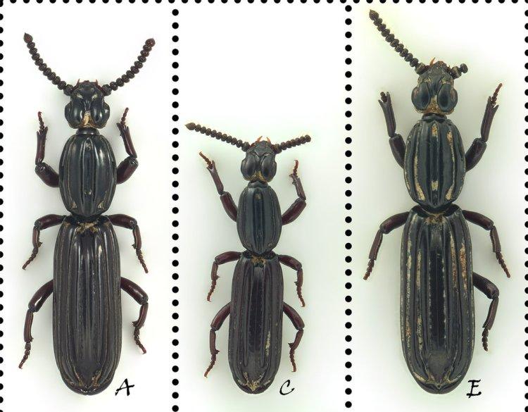 「習氏狼條脊甲蟲」的圖片搜尋結果