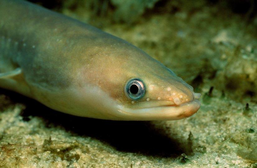 European Eel (Anguilla anguilla)