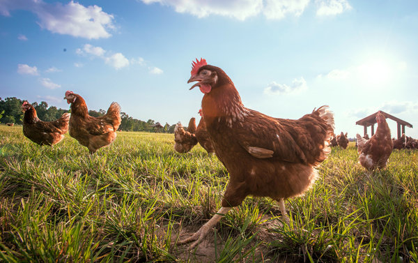 What To Make Of Those Animal Welfare Labels On Meat And Eggs