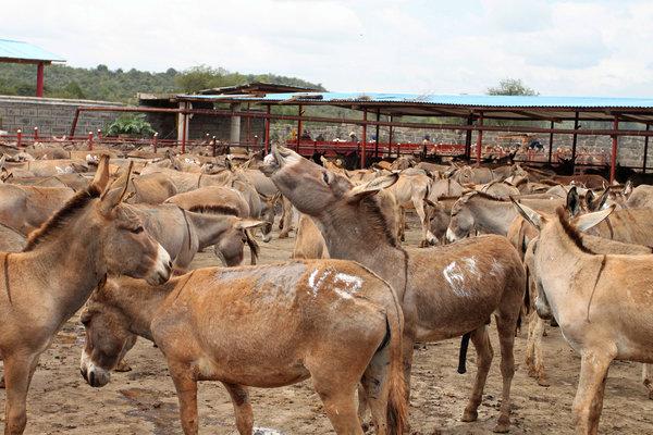 肯尼亚金牛驴屠宰场等待宰杀的驴。努力满足需求增长的中药制造商把寻找阿胶的目光转向了发展中国家。