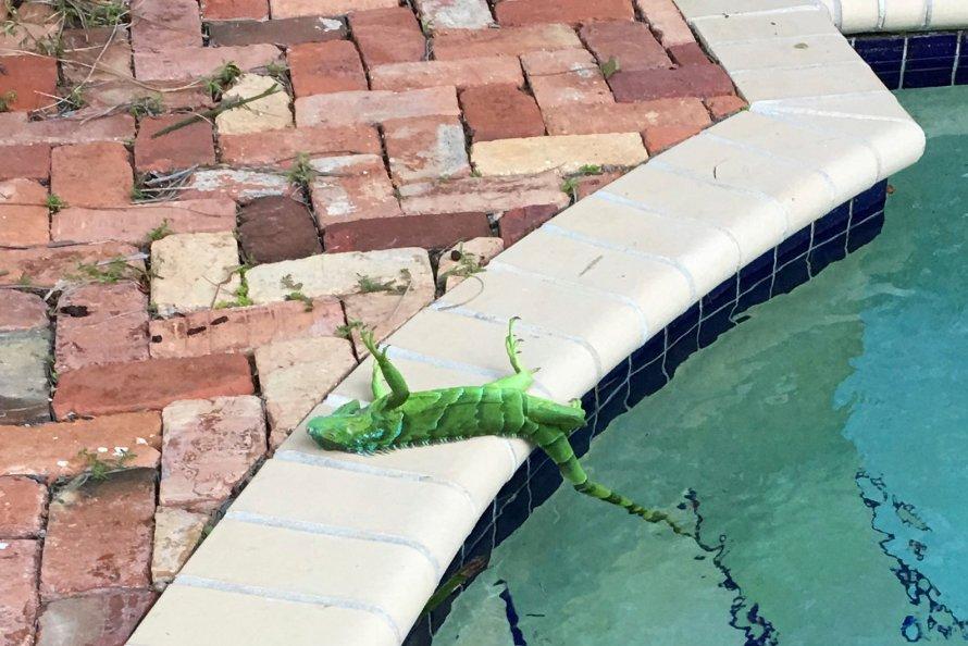 It's raining... iguanas?