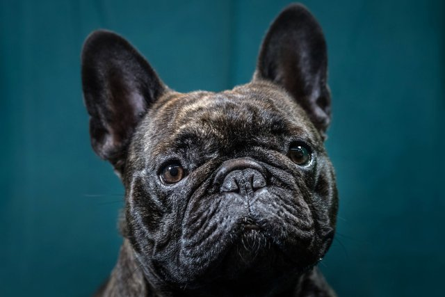 the price french bulldogs pay for being so cute - the new