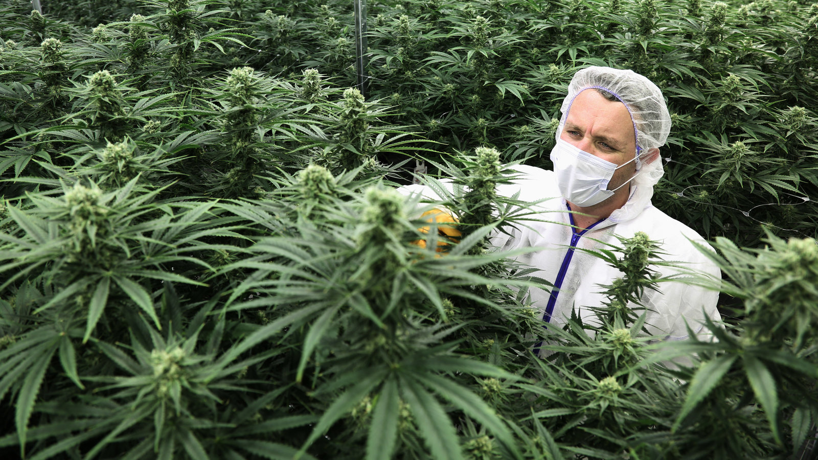 Legalization In Canada Has Companies Chasing A