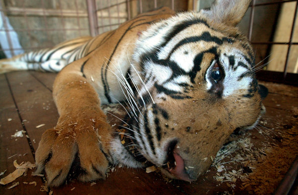 A tranquilized Ming at an animal sanctuary in Ohio after he was removed from a Harlem apartment.