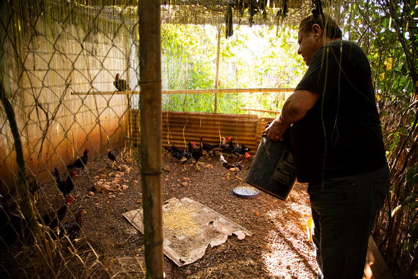 Mr. Figueroa fed roosters on his farm. Cockfighting will be banned in Puerto Rico next month.