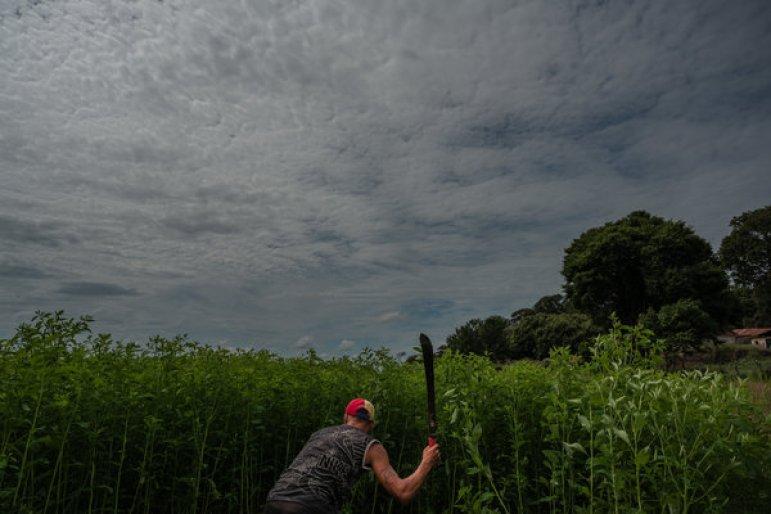 Guillermo Loreto, 19, trabajando en el campo de frijoles de su abuela.Crédito...Adriana Loureiro Fernandez para The New York Times
