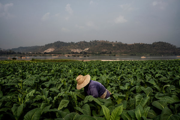 A farmer tends to tobacco plants on the banks of the Mekong River, near Sangkhom.