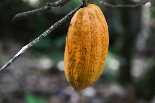 There are more than a dozen different cultivars of cacao used to make chocolate, each with its own distinct flavor and aroma.