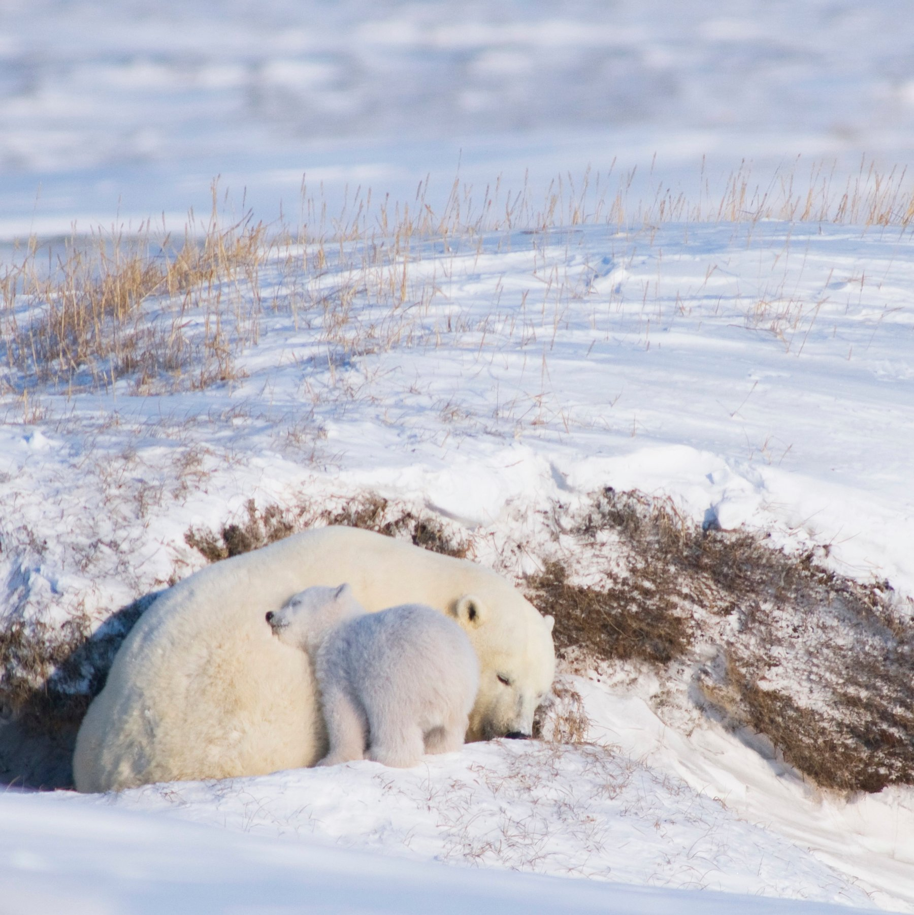 Oil Industry Tool To Spare Polar Bears Is More Miss Than Hit The New York Times