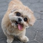 Marnie Shih Tzu Who Charmed Instagram With Her Lolling Tongue Dies At 18 The New York Times