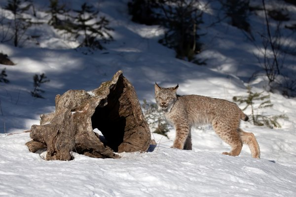 A Canada lynx kitten in Montana. A study of Washington State found that wild cats are using only about 20 percent of 2,700 miles of potential habitats.