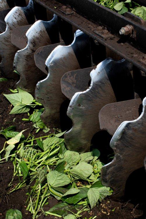 Milhões de quilos de feijão e repolho foram destruídos nas fazendas RC Hatton, no sul da Flórida e na Geórgia.