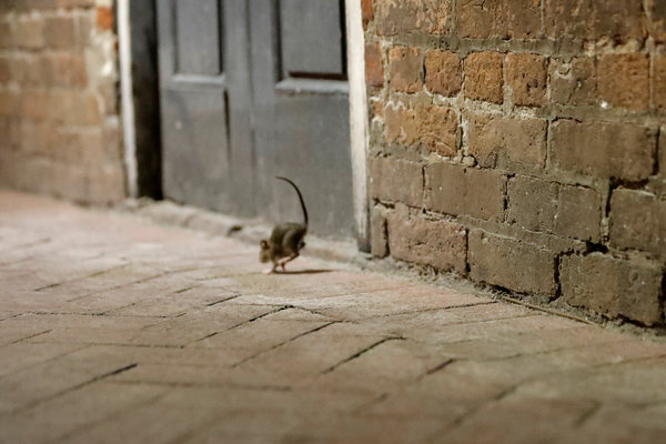 Homeowners should measure the space below their doors because half an inch is enough for rats to get in, said Bobby Corrigan, an urban rodentologist.