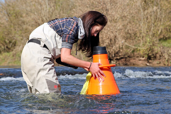 Rose Agbalog, a biologist with the U.S. Fish and Wildlife Service, searches for freshwater mussels in the Clinch River in Tennessee. Researchers are trying to understand a possible link between mussel die-offs and viruses.