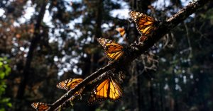 Monarch Butterflies Qualify for Endangered List.  They Are Not Protected Yet.