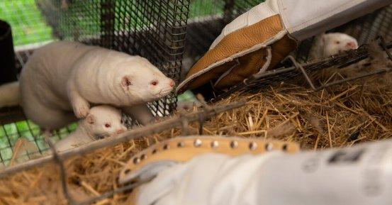 How Mink, like humans, were hit by Coronavirus