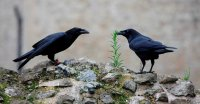 A Raven Queen Vanishes, and Britain Checks a Prophecy