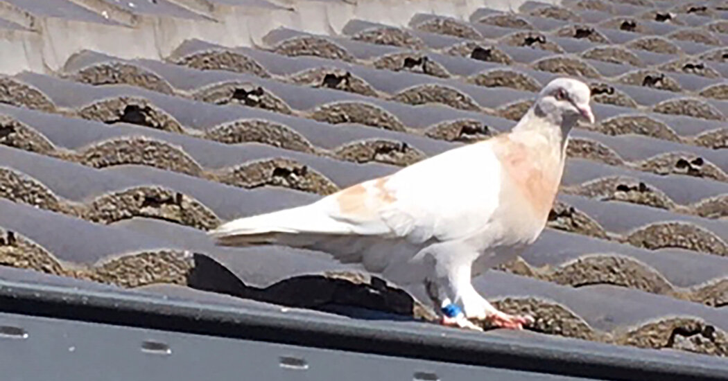 Why Does Australia Want to Kill a Bird Named Joe (Biden)?