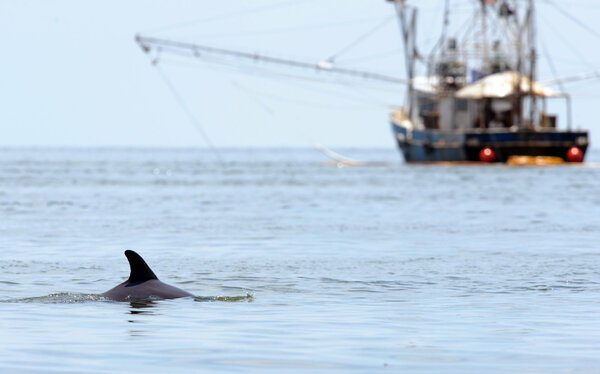 A dolphin near a shrimp boat after the Deepwater Horizon disaster in June 2010.