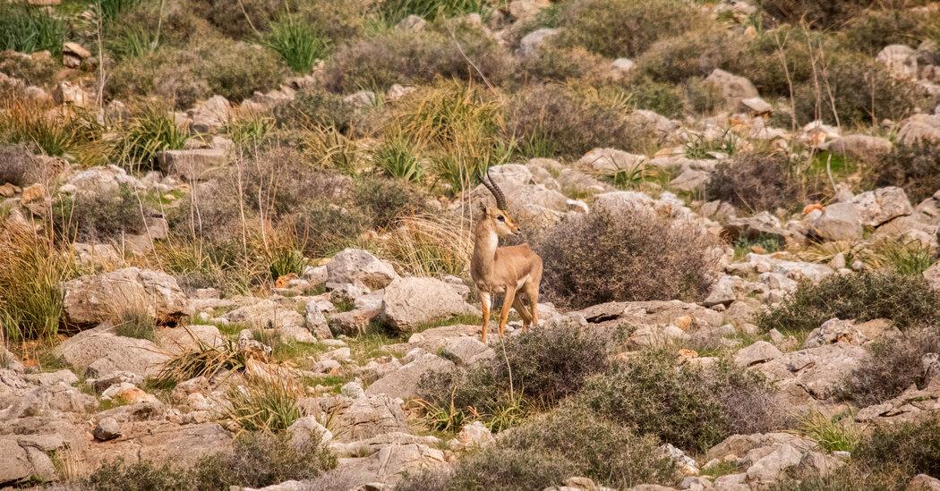 Endangered Gazelles Make a Comeback on the Edge of a War Zone
