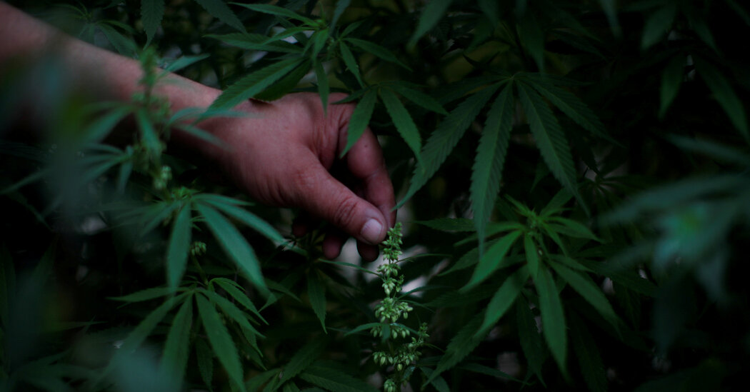 A Green Wave? Mexico's Marijuana Market May Be Middling