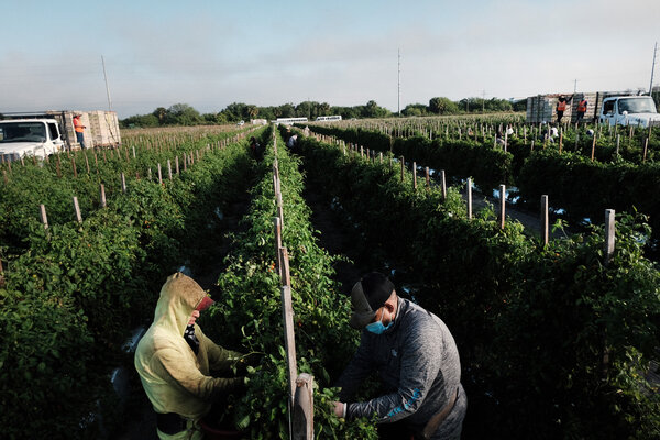 Farmworkers picking tomatoes in Immokalee, Fla., this year.Lawmakers recently approved a measure that would eventually grant legal status to close to a million farmworkers.